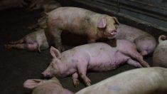 Peste suína na China aumenta exportações de carne de porco no Brasil