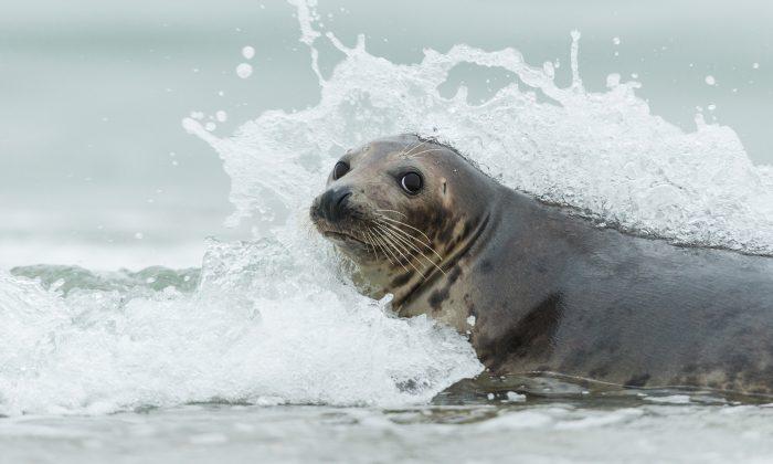 Foca atrevida surfa na costa australiana, mas veja quem está dando carona