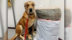 Cão é abandonado em abrigo com sua cama e brinquedos, pois sua família não tinha tempo suficiente para ele