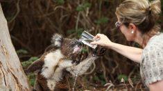 Vídeo de coala e cachorro compartilhando uma bebida no quintal oferece conforto em meio à crise