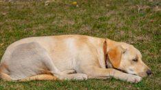 Cão leal espera por uma semana na entrada do hospital pelo proprietário que faleceu