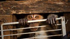 Macaco solitário segura a mão do socorrista após ter sido negligenciado em uma pequena gaiola por sete anos