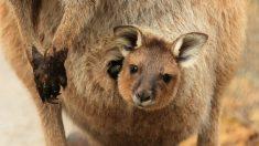 Vídeo de bebê canguru se torna viral e ajuda a arrecadar dinheiro para salvar animais de incêndios florestais