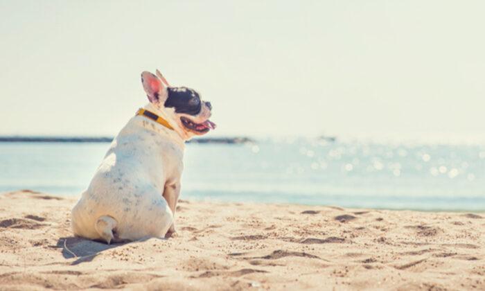 Bulldog se torna famoso após cantar canção emocionante em vídeo hilário