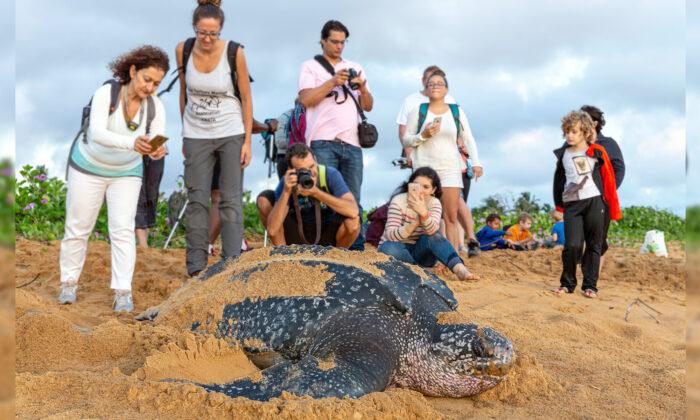 Primeira tartaruga-gigante de 2020 põe seus ovos na praia da Tailândia