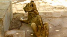 Imagens chocantes de leões definhados no zoológico do Sudão viram campanha para salvar os animais