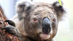 Cão farejador ajuda a resgatar coalas entre os enormes incêndios na Austrália