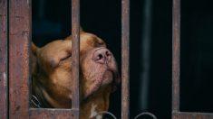 Cão de coração partido derrama 'lágrimas de tristeza' depois de ser abandonado em abrigo