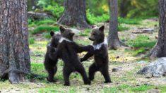 Fotógrafo tira foto de três filhotes de urso 'dançando na floresta' como em um livro de contos de fadas