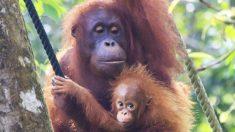 Bebê orangotango faz birra enquanto sua mãe nervosa o arrasta pelo recinto em safári