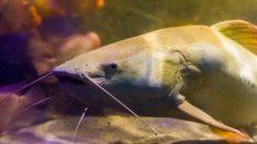 Pescadores capturam peixe-gato albino gigante com mais de dois metros de comprimento, pesando mais de 87 quilos