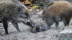 China relata novo caso de febre suína africana em javalis