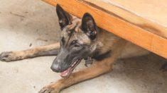 Cão treme no abrigo após família abandoná-lo por estar esperando bebê