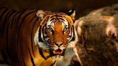 Tigre do zoológido do Bronx testa positivo para vírus do PCC, anunciam funcionários