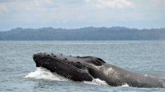 União Soviética mata dezenas de milhares de baleias praticamente sem motivoalgum