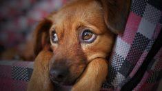 Filhote de cachorro espera três meses fora de hospital por seu dono que morreu de Covid-19