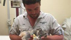 Coala bebê é resgatada da morte pelo zoológico da Austrália e tem reabilitação bem-sucedida