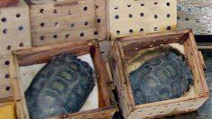 México apreende remessa ilegal contendo 15.000 tartarugas vivas para serem entregues na China