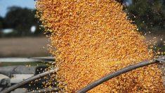 China compra quantidades recordes de produtos agrícolas dos EUA devido a uma possível escassez de alimentos