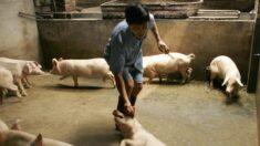 Novo surto de peste suína africana afeta Xinjiang, China