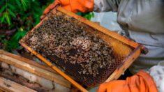Bolívia investiga morte de milhares de abelhas no leste do país