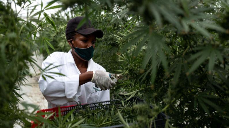 Comissão dá aval a legalizar cultivo de cannabis para 'fins medicinais'