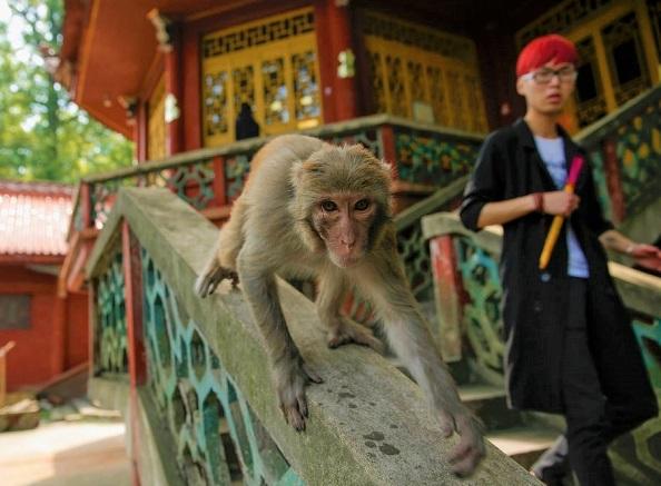 Veterinário de Pequim morre de vírus do macaco B, que tem uma taxa de mortalidade de 70-80%