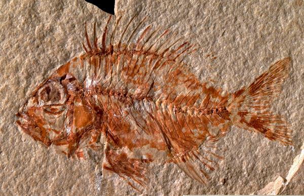 Encontrada no México uma nova espécie de peixe que viveu há 95 milhões de anos