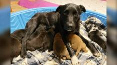 Cadela resgatada em Minnesota adota 10 filhotes órfãos depois de perder sua própria ninhada