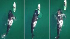 Momento incrível onde uma enorme baleia franca dá um empurrãozinho ao paddleboarder capturado em vídeo - e é lindo