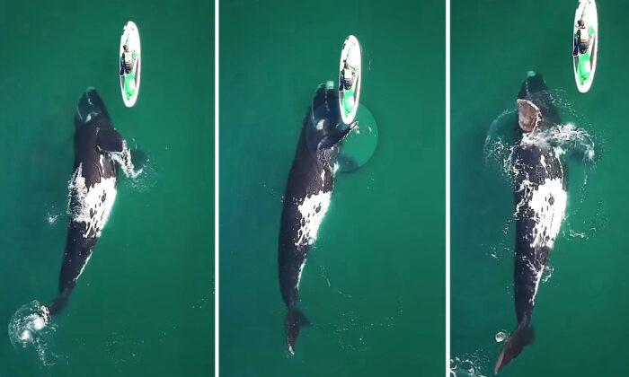 Momento incrível onde uma enorme baleia franca dá um empurrãozinho ao paddleboarder capturado em vídeo – e é lindo