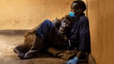 Gorila da montanha órfã, de 14 anos, morre nos braços de seu zelador: 'Eu a amei como uma criança'