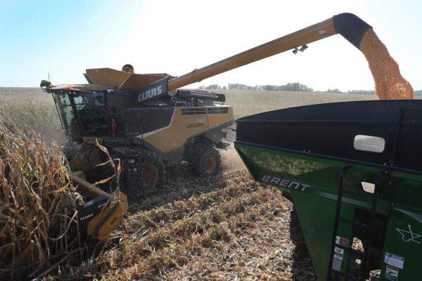Uma ceifeira-debulhadora é usada para colher milho nas fazendas da família Hansen em Baxter, Iowa, em 12 de outubro de 2019 (Joe Raedle / Getty Images)