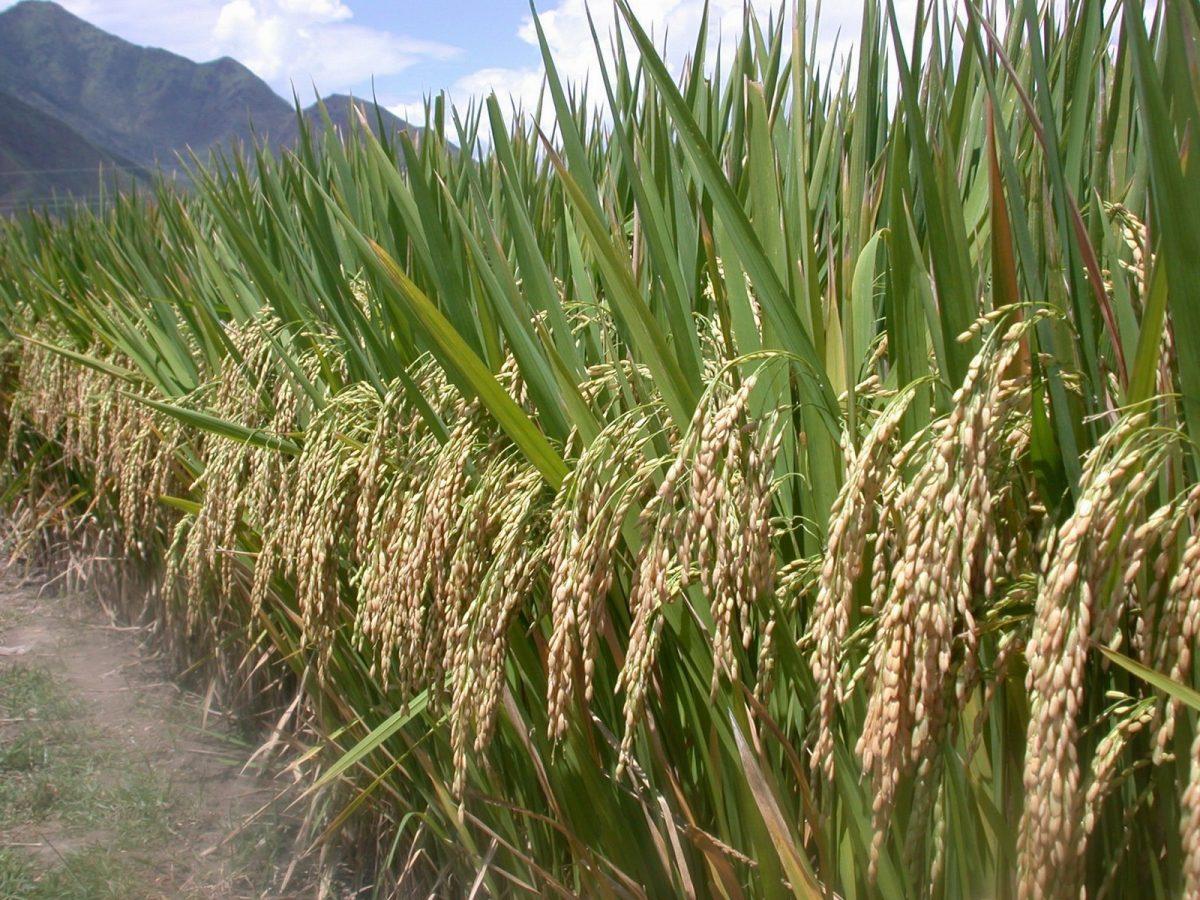 Um campo de arroz híbrido SRI na província de Yunnan, China, em 2004 (Cortesia Zhu Defeng)