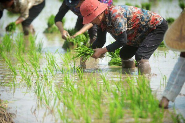Agricultores trabalham nos campos em Yangzhou, Jiangsu, China, em 6 de junho de 2018 (VCG / VCG via Getty Images)