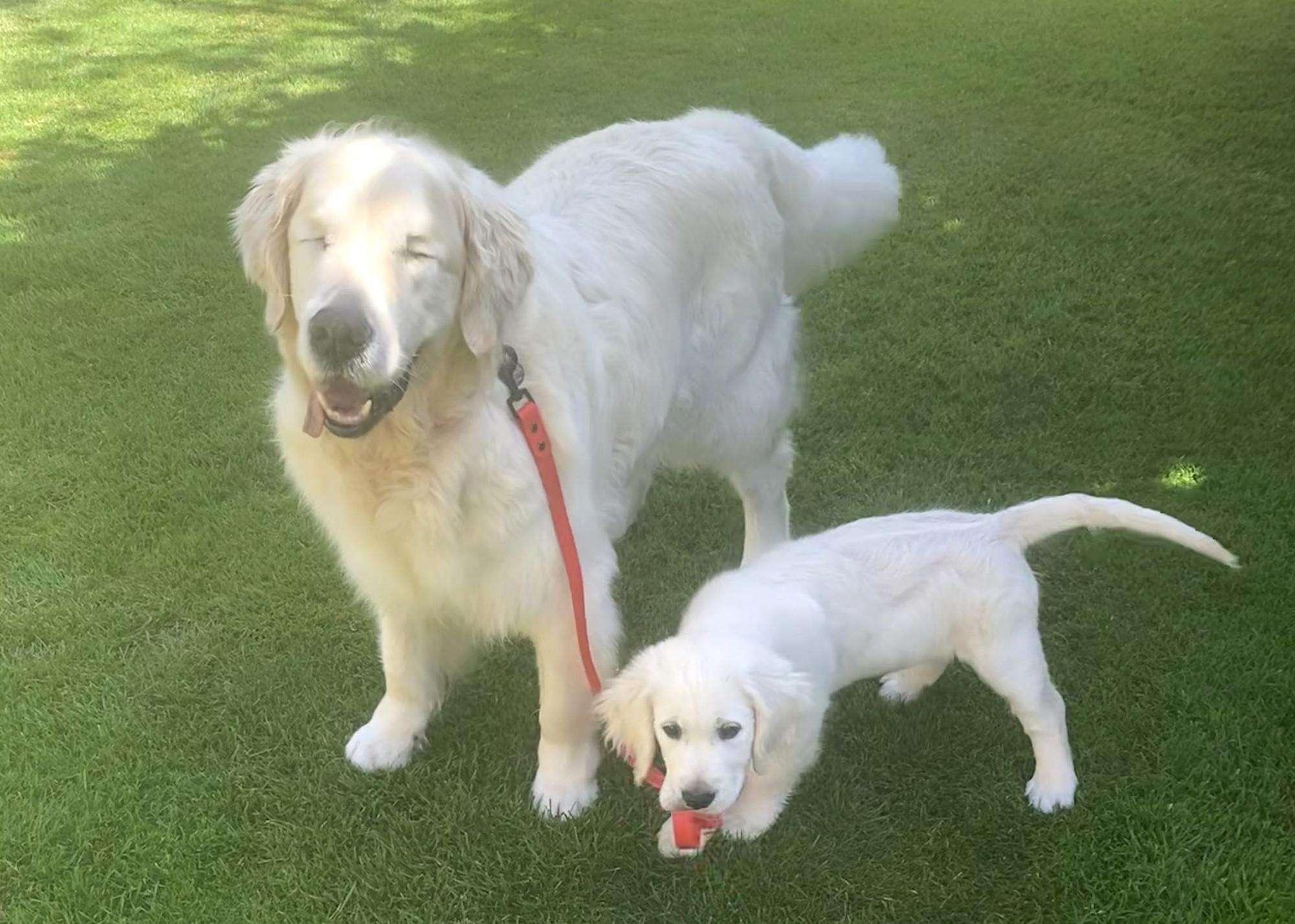 O cão-guia oko con tao, que perdeu a visão devido ao glaucoma (Notícias Caters)