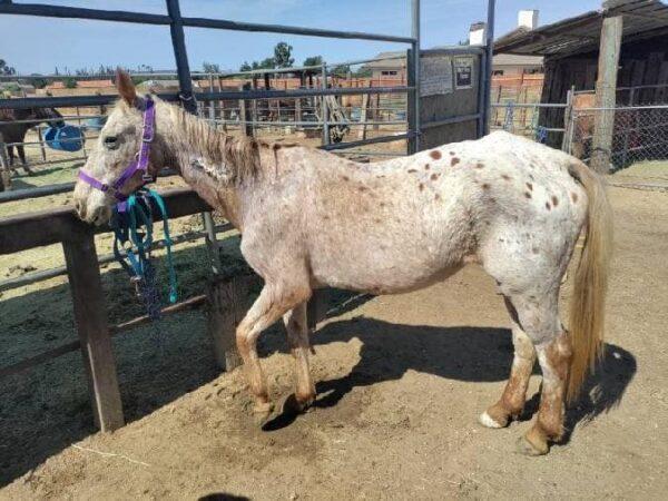 (Cortesía de Far-From-Perfect Mustang Rescue) Fuente: The Epoch Times en español