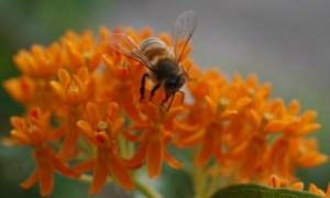Asclépias tuberosa ou Butterfly Weed (Cat Rooney/Epoch Times)