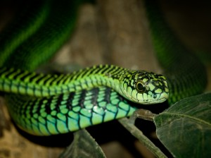 Boomslang (William Warby/Wikimedia Commons)